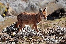 Ethiopian_wolf_(Canis_simensis_citernii)